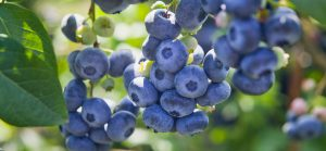 Lemuria's Blue Messengers